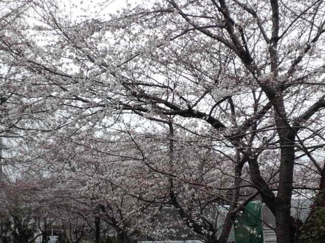 近所の桜。風が強くなってきたので散る前に…