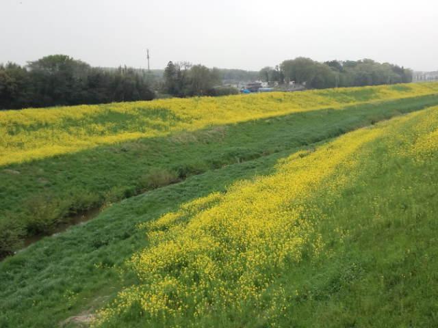 一面の菜の花。ここらへんの春の楽しみのひとつ(^o^)